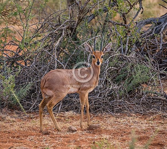 Steenbok gazelle