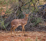 Steenbok gazelle