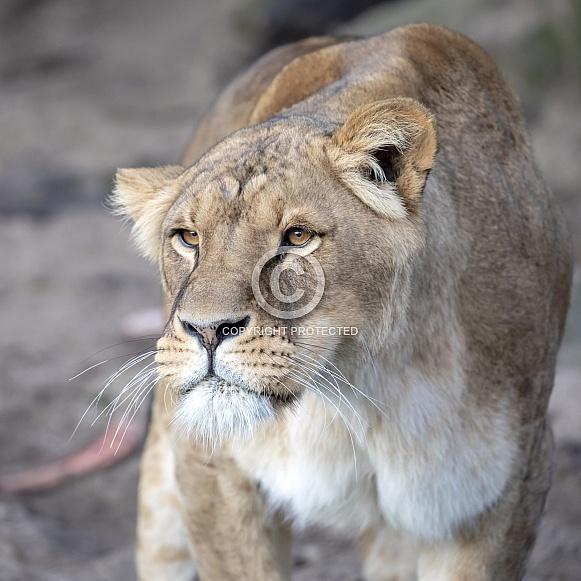 Lioness (Panthera onca)