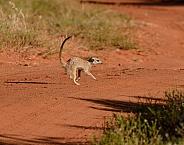 Meerkat Crossing