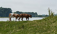 Dutch red Holstein cow