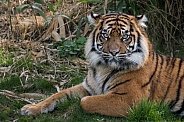 Sumatran Tiger(Panthera Tigris Sumatrae)