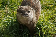 Asian Short Clawed Otter In The Grass
