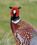 Common Pheasant cock