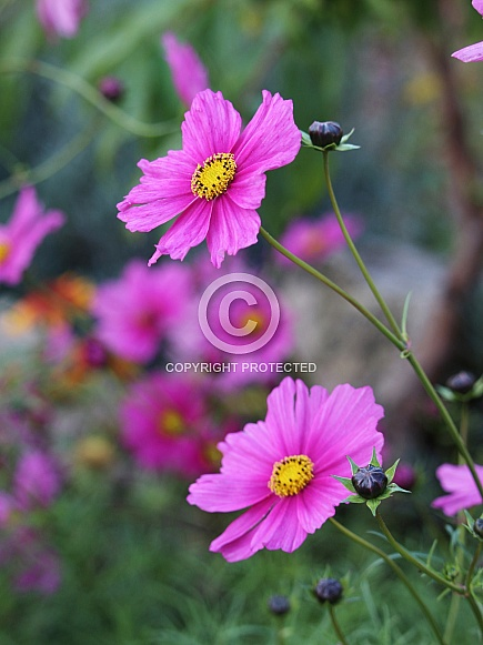 Hot Pink Cosmos Flowers
