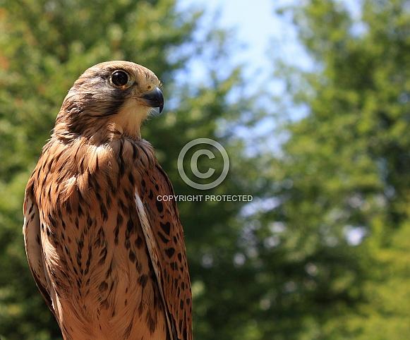 Female Common Kestrel (Falco tinnunculus)