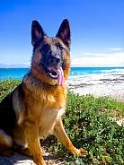 German Shepherd at the beach