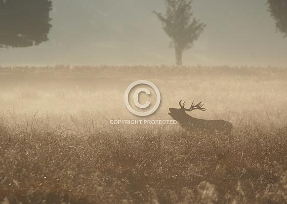 Red Deer at Sunrise