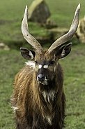 Male Sitatunga Close up
