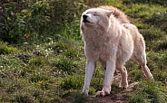 Arctic Wolf Full Body Stretching