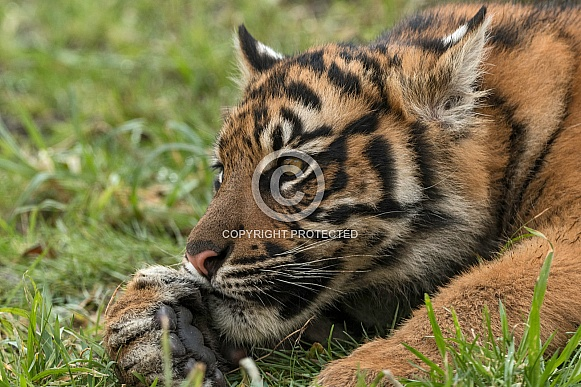 Sumatran Tiger Cub Head On Paw