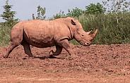 White Rhino Running
