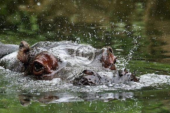 Hippo(potamus)