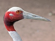 Sarus Crane Bird