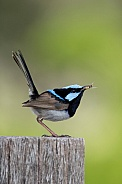 Superb fairy-wren (wild).