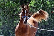 Arabian Colt in Shadow