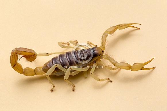 Desert Giant Hairy Scorpion