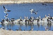 Cape Turtle Doves - Namibia