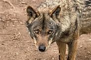 Iberian Wolf Close Up Face Shot