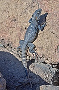 Spinytail Iguana