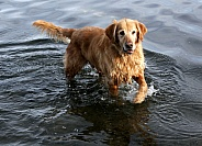 Golden Retriever at Play