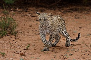 Wet and bedraggled leopard cub