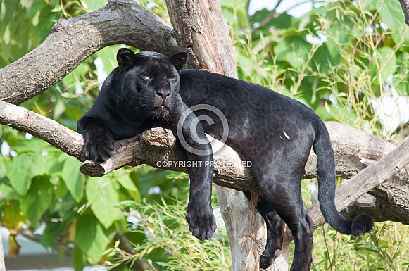 Black Jaguar Resting in Tree