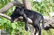 Black Jaguar Resting in Tree