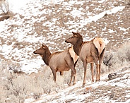 Wild elk cows