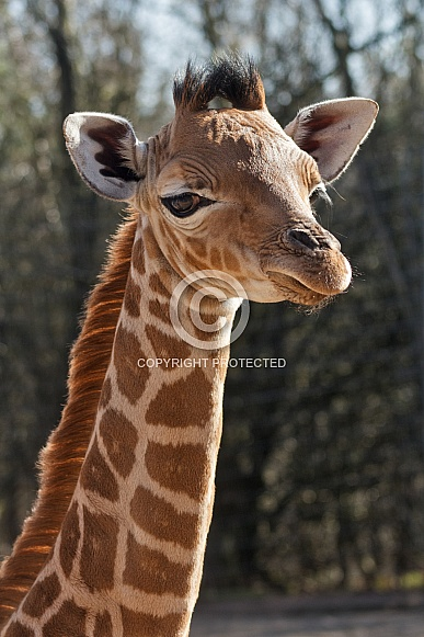 Giraffe Calf Close Up
