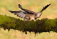 Kestrel Female with kill.