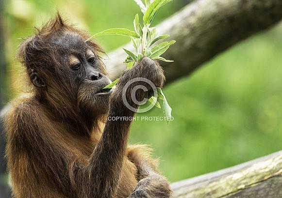 Young Sumatran Orangutan With Leaves