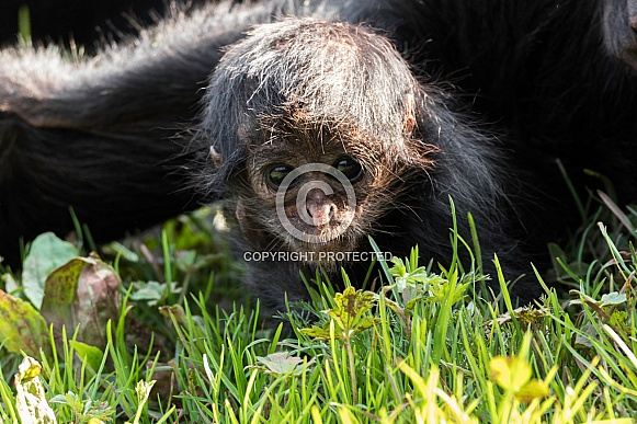 Baby Spider Monkey Looking at Camera