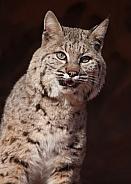 Bobcat Lynx rufus