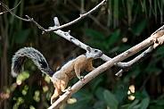 Wild Squirrel in Costa Rica