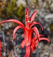 Brunsvigia Orientalis (detail)