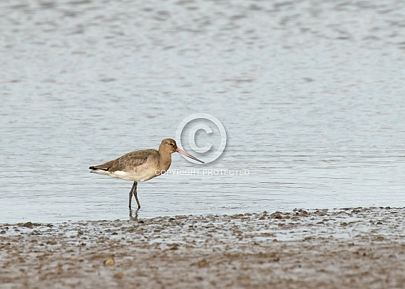 Black-Tailed Godwit winter Plumage)