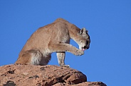 Mountain lion, cougar, puma concolor