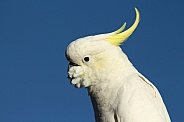Sulphur-crested Cockatoo (wild).