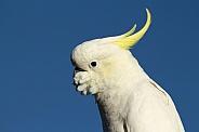 Sulphur-crested Cockatoo (wild).