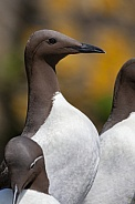 Guillemots or Common Murre - Scotland