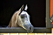 Grey Mare in Stable