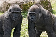 Two Young Western Lowland Gorillas