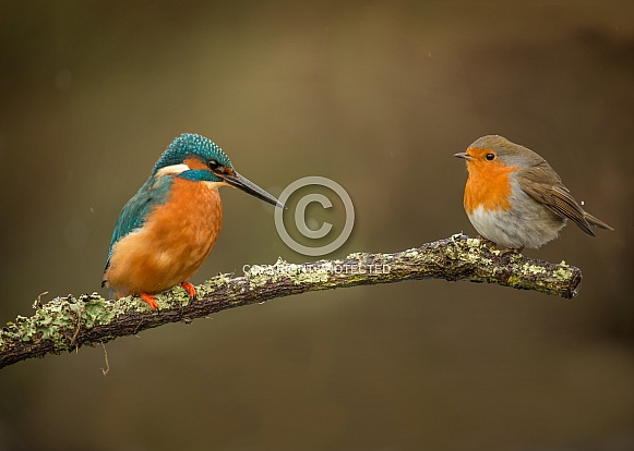 Common Kingfisher with European Robin