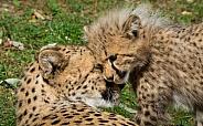 Cheetah Cub and Mum