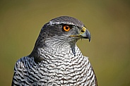 Portrait of a Northern goshawk