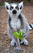 Young Ring-tailed Lemur
