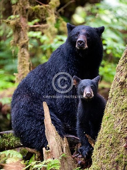 Black Bear and Cub (wild)