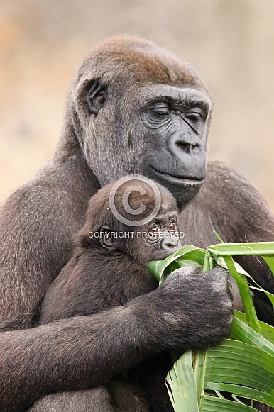Mother and baby Lowland Gorilla