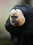 White faced saki (Pithecia pithecia)